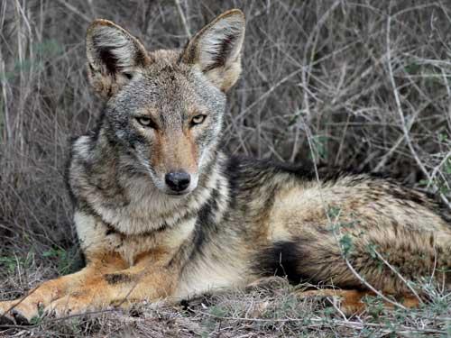 coyoteTexas
